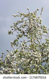 Dove perched on branch of blooming apple tree.
