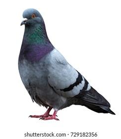 Dove pigeon bird, Dove isolated on white