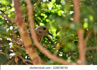 A dove rolling its eggs nest in the jaboticaba tree