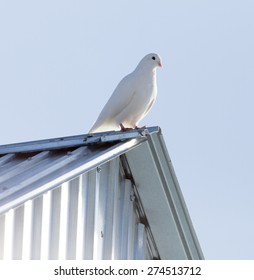 Dove in the roof