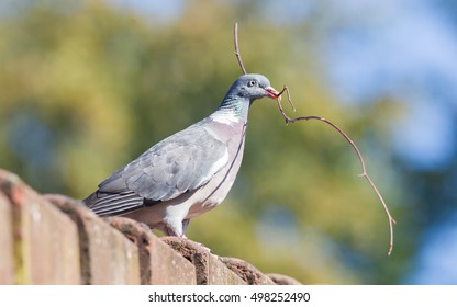 Dove with small branch isolated - Building a nest