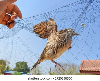 Dove stuck on net in air, bird caught in a trap
