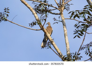 dove Thailand bird species, which is perched on a tree.