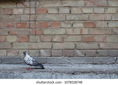Dove and wall.Bird and old wall. Grey dove sitting on a vintage wall. Birds and walls.