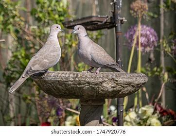Doves in an English Garden using the Birdbath during #covid-19 lockdown.