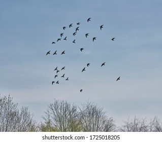 Doves in flight over treetops