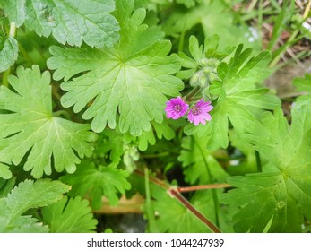 Dovesfoot or awnless flower, Geranium molle, growing in Galicia, Spain