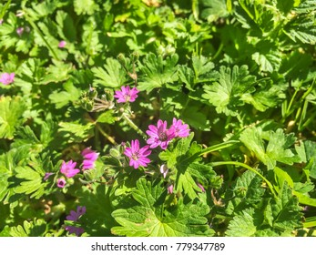 Dovesfoot or awnless flower, Geranium molle, growing in Galicia