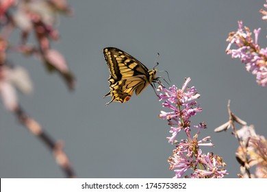 Dovetail butterfly on blossom in garden