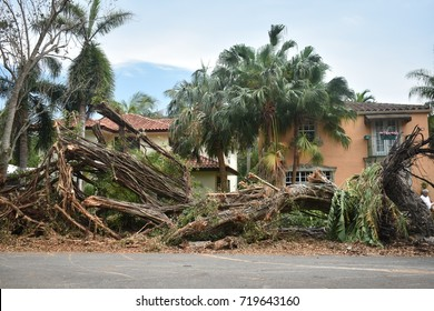 Down banyan tree in Miami Florida by hurricane Irma