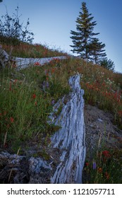 Downed trees and wildflowers at beautiful Mount St. Helens National Volcanic Monument in Washington State, U.S.A.