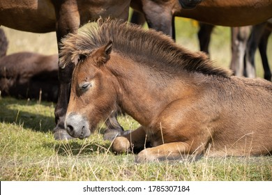 Downs Klint, Langeland, Denmark - July 26th 2020: The wild horses released on the southern part of the island Langeland
