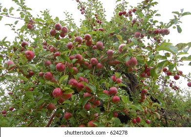 A downward view of apples