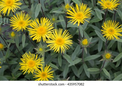 Downy Elecampane ( Inula hirta ) with yellow flowers in a garden in Goettingen , GermanyDowny Elecampane ( Inula hirta ) with yellow flowers in a garden in Goettingen , Germany