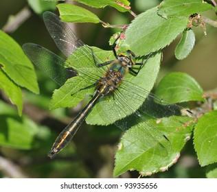 Downy Emerald Dragonfly - Cordulia aenea Male