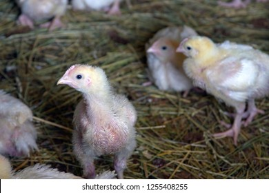Downy feathered, free ranging baby chickens on a farm exploring their world of straw