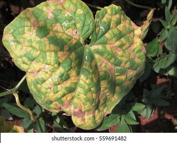 Downy mildew disease on cucumber