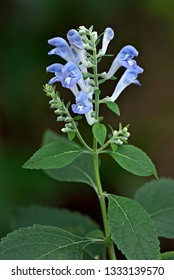 Downy skullcap (Scutellaria incana) in central Virginia in early August