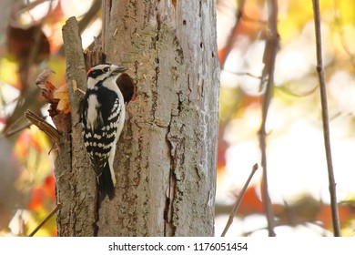 A Downy Woodpecker in the autumn woods.