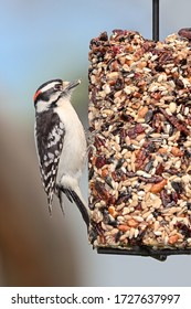 A downy woodpecker clutches onto a cylinder seed feeder pecking away at cranberries, safflower, peanuts,  and sunflower seeds.