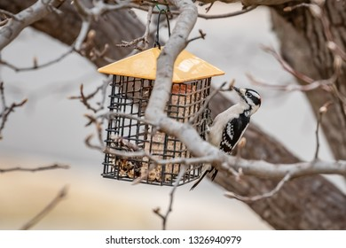 Downy Woodpecker at a feeder