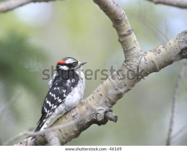 Downy Woodpecker (male) (Picoides pubescens)