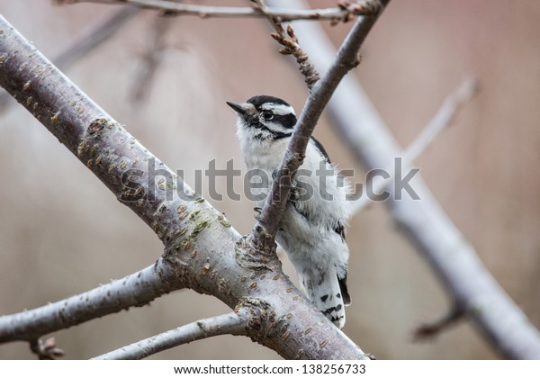 Downy Woodpecker on cherry tree in early spring