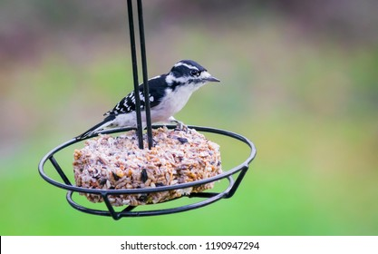 Downy woodpecker on feeder swing nature photography