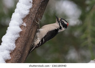 Downy Woodpecker perched on snowy branch