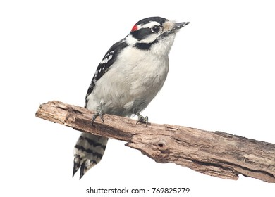 Downy Woodpecker Picoides Pubescens On A Branch Isolated With White Background