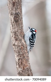 Downy woodpecker (Picoides pubescens) sits on the tree trunk