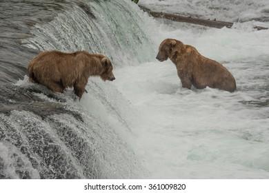 Dozens of grizzly bears gather at Brook Falls during the annual salmon run - Katmai National Park - Alaska