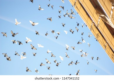 Dozens of pigeons fly over the building