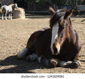Dozing Clydesdale colt, horse breed
