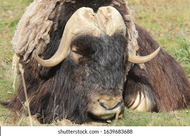 dozing musk ox on green grass