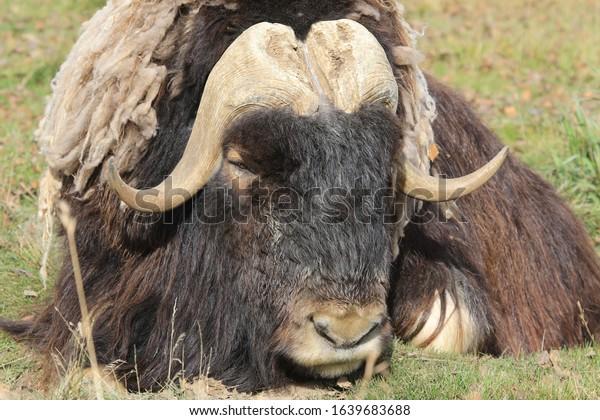 dozing musk ox on green grass