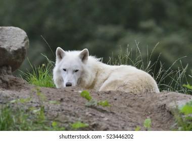 Dozing Wolf