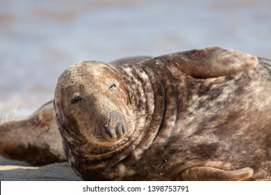 Dozy animal. Sleepy lethargic seal feeling drowsy. Eyes half closed. Cute funny wildlife meme image of a lazy hangover morning trying to get up. The morning after. From the Horsey seal colony UK.