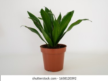 Dracaena angustifolia at the light grey background. Front view of Dracaena reflexa.