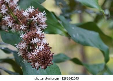 Dracaena fragrans, cornstalk dracaena