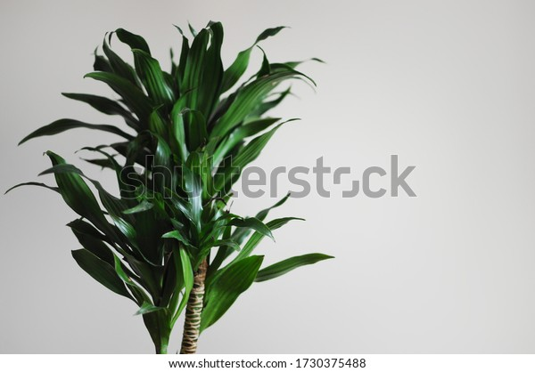 Dracaena fragrans. Modern style interior with home plant. Empty place your text