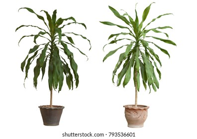 Dracaena fragrans tree middle age in the pot on white background.