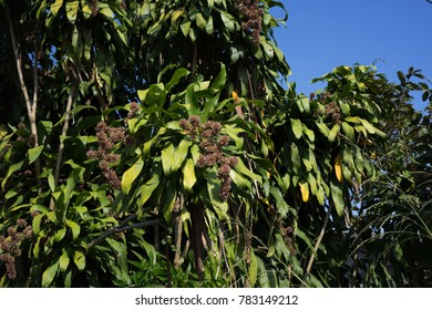 Dracaena goldieana Queen of DracaenasThe tree is a medium size. The stem is about 4-10 meters tall. Trunk The bark is brown.
