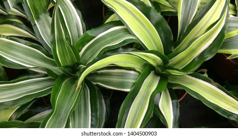 Dracaena houseplant. Textural floral background of young green leaves.