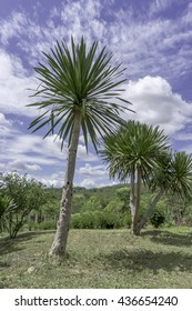 Dracaena loureiri Gagnep with blue sky