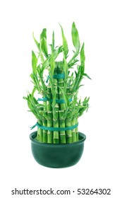 Dracaena Lucky Bamboo in a pot on a white background.