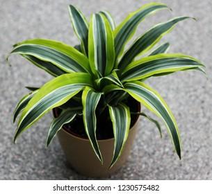 a Dracaena Plant