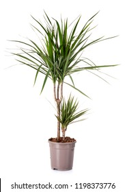 dracaena plant in front of white background