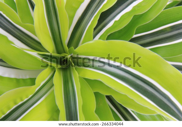 dracaena plant as very nice green natural background
