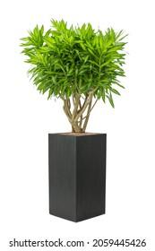 Dracaena reflexa Aurea Variegata plant in pot isolated on white background.